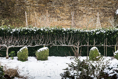 Snowy hens clipped from Lonicera nitida 'Baggesen's Gold', with trained fruit tree and box hedge behind. Yews Farm, Martock, ...