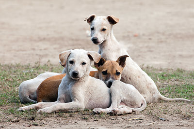 A litter of stray puppies on the Maidan (a large park in central Kolkata), near Victoria Memorial, Kolkata, India.