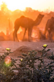 Camels at sunset in the desert, Pushkar, Rajasthan, India