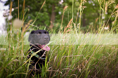 portrait of black cross breed dog sitting in natural grasses