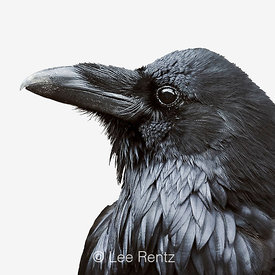 RAVEN FEATHERING