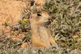 utahprairiedog_greetings_from_my_burrow