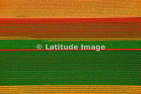 Tulips Fields, Lisse