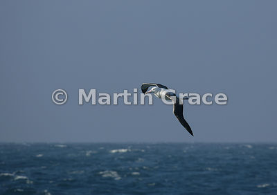 Wandering (Snowy) Albatross (Diomedea (exulans) exulans) in flight, Southern Ocean near South Georgia