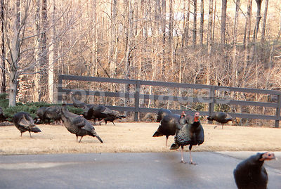 Wild turkeys near residences in Georgia