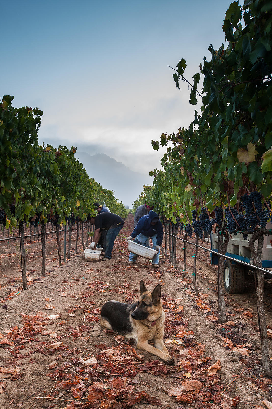A dog keeps watch in a vineyard as men harvest grapes. Wine harvest photography by Jason Tinacci
