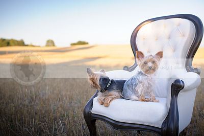 two cute little yorkshire terrier dogs on chair in wheatfield