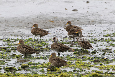 Yellow-Billed Pintail (Anas georgica spinicauda), Chiloe Island, Chile