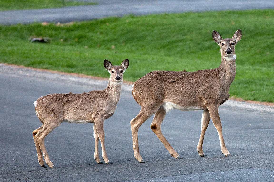 White-tailed deer (Odocoileus virginianus) in a residential neighborhood in Gaithersburg, Maryland