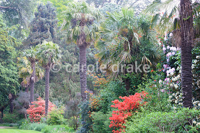 The Palm Walk featuring tall Trachycarpus fortunei, Chusan palms, underplanted with colourful azaleas and rhododendrons.