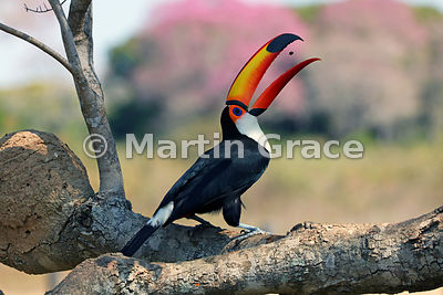Toco Toucan (Common Toucan, Giant Toucan) (Ramphastos toco) tossing a small food item prior to swallowing it, Pantanal North,...