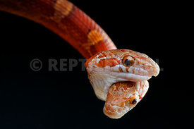 Pantherophis guttata, two headed snake