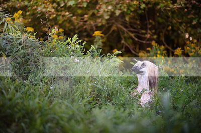 longhaired dog with mask eyes closed hiding in natural setting