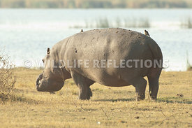 hippo_walking_away