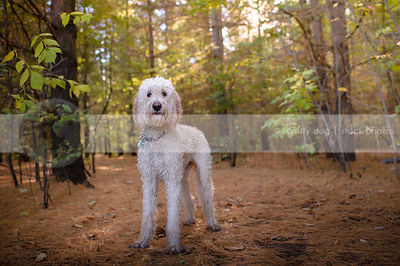alert wet cross breed dog standing in pine needles in forest
