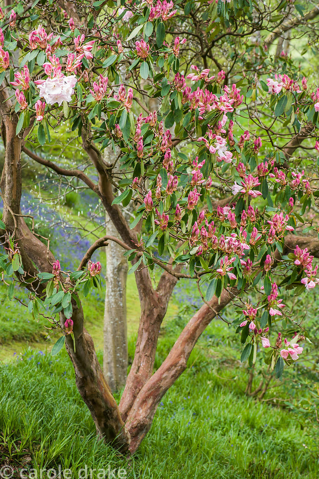 Rhododendron (Loderi Group) 'Loderi King George' in the Dell with carpets of bluebells beyond.