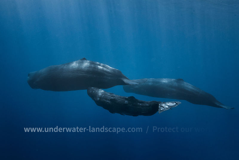 Sperm Whale Familly in mauritious island
