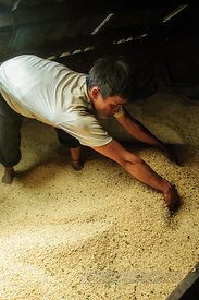 Storing Harvested Rice in Village House Loft