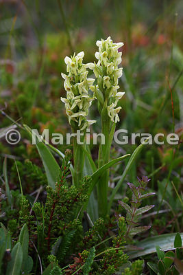 Northern Green Orchid (Platanthera hyperborea)