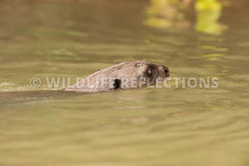 giant_otter_swim_head-1