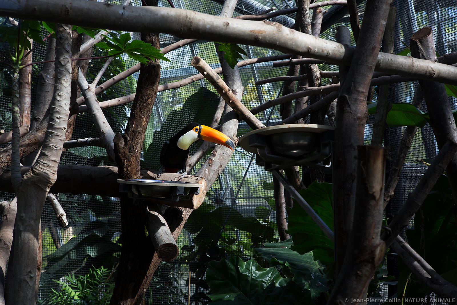 Toucan du zoo de Vincennes