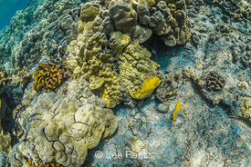 Yellow Tang and other Fish along Coral Reef off Big Island of Hawaii