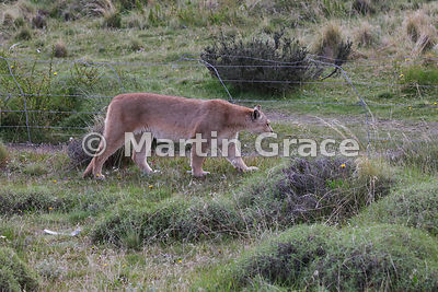 Female Patagonian Puma (Puma concolor patagonica), known as Hermanita, by the boundary fence separating the Torres del Paine ...