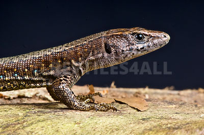 Jackson's forest lizard  (Adolfus jacksoni) photos