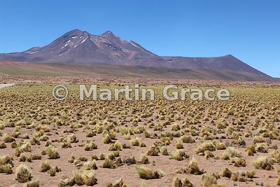 High Andean Altiplano steppe grassland (pajonal) with Coiron Grass (Stipa chrysophylla) and small Lupins (Lupinus sp); Volcan...