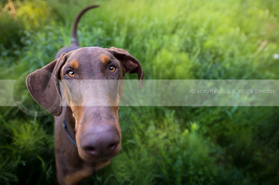headshot of doberman dog with minimal background