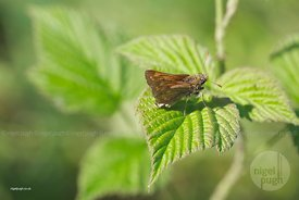 small skipper: