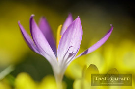 Woodland crocus (crocus tommasinianus) in between winter aconites - Europe, Germany, Bavaria, Upper Bavaria, Munich - digital