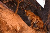 Leopard sitting in a baobab tree, Panthera pardus, Ruaha National Park, Tanzania