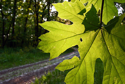 Bigleaf Maple (Acer macrophyllum) along the Willamette River near Springfield, Oregon