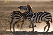 Tanzania, Ngorongoro crater, Common zebra (Equus burchellii) fighting
