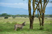 Burchell's zebra (Equus burchellii), Lake Nakuru National Park, Kenya