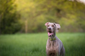 excited grey dog with flipped ear waiting with minimal background