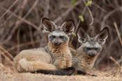 Bat-eared fox pair (Otocyon megalotis), Ruaha National Park, Tanzania