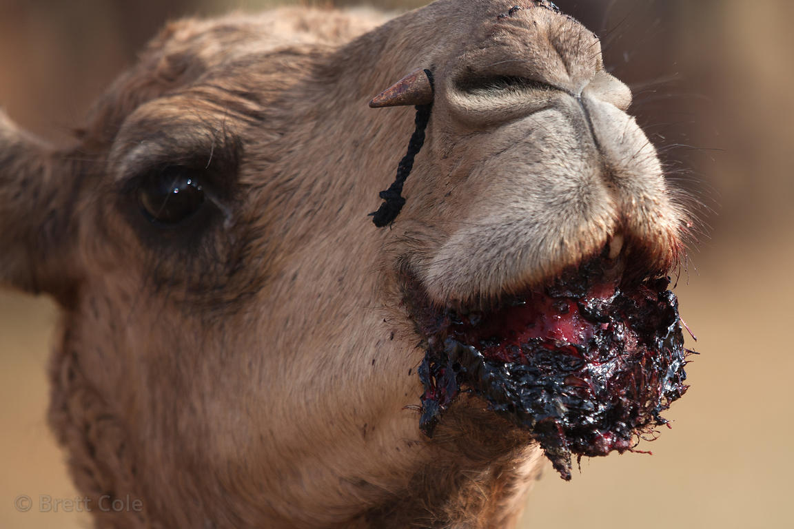 Camel (Camelus dromedarius) with a severe lip injury, Pushkar, Rajasthan, India