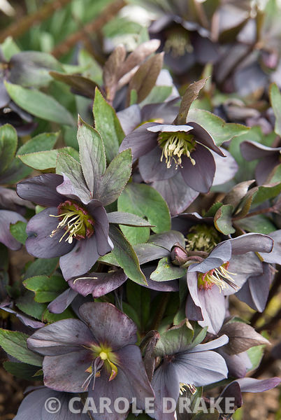 Helleborus x hybridus Ashwood Garden hybrids Slate Grey. The Sir Harold Hillier Gardens/Hampshire County Council, Romsey, Han...