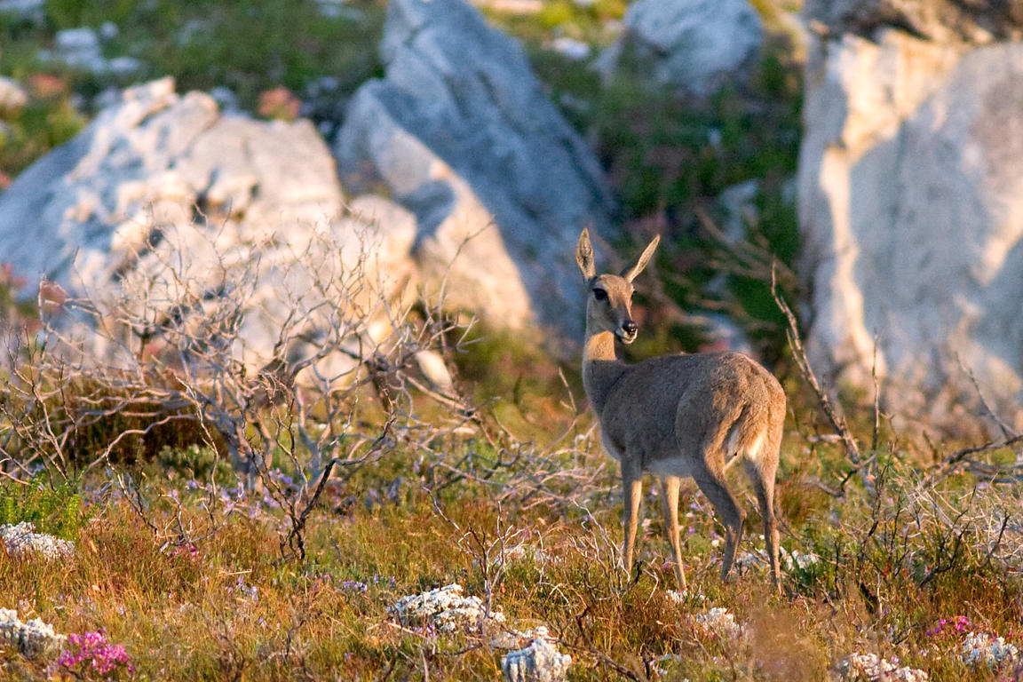 Grey rhebok (Pelea capreolus), Olifantsbos Beach, Cape Peninsula, South Africa, one of the rarer antelope in the park. Unseen...