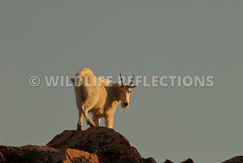 mountain_goat_setting_sun