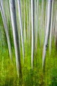 Aspen Trunks Blur