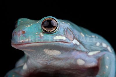 White's Tree Frog (Litoria caerulea)