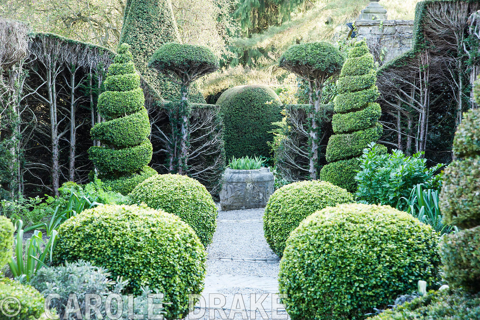 Clipped box and yew topiary in the Herb Garden, where overgrown yew hedges are resprouting after being cut back the previous ...