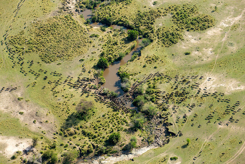 Wildebeest (Connochaetes taurinus) migration, aerial view crossing river, Masai-Mara game reserve, Kenya, September