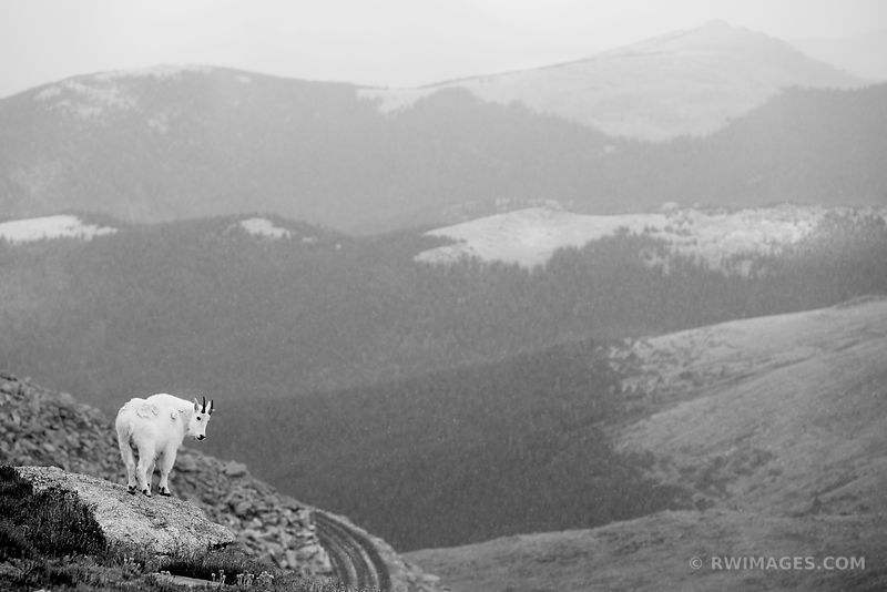 MOUNTAIN GOAT IN SNOW MOUNT EVANS ROAD SCENIC BYWAY ROAD COLORADO ROCKIES BLACK AND WHITE