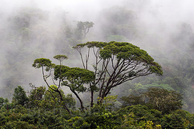 Emergent tree in young forest in a former pasture, Las Nubes, Costa Rica