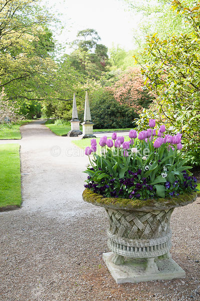 Stone basket planter with spring flowers, tulips and pansies. Holker Hall, Grange over Sands, Cumbria, UK