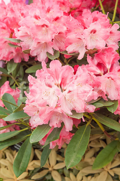 Rhododendron 'Sneezy', rhododendron yakushimanum, rose